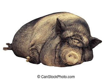 isolated huge pig - huge lazy pig isolated over white...