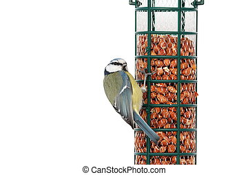 isolated hungry blue tit - hungry blue tit on bird feeder...