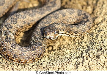 meadow adder hatched from hibernation - male meadow adder...