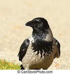 portrait of hooded crow