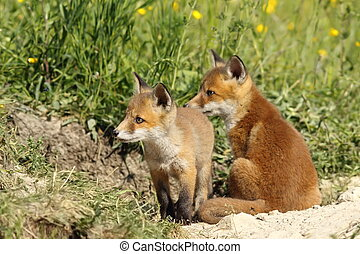 red fox brothers - european red fox brothers near the den (...