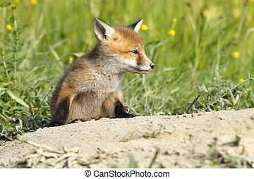 young red fox closeup near the den, wild animal ( Vulpes )