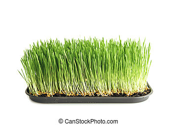 Food: homegrown wheat grass on white - Homegrown wheat grass...