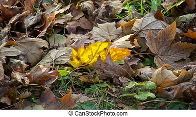 cinemagraph of swinging yellow mapple leaf on the ground -...