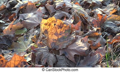 swinging yellow withwred mapple leaf on the ground -...