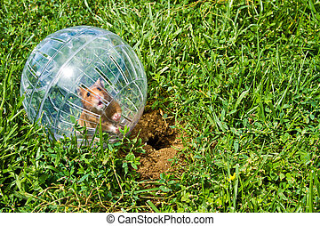 Rodent in a hamster ball wanting to go down gopher hole, so close, but so far away