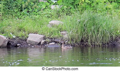 Ducklings swim in the duck. Ekaterinburg, Russia.