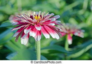 White and red hybrid Aster flower in the garden in Bangkok...