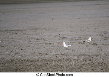 Seagulls on a lake searching for food - Seagulls on a mud...
