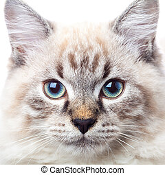 Neva Masquerade Siberian cat portrait - Male lynx point...