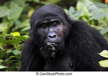 Gorilla - Mountain Gorilla (Gorilla beringei beringei) in...