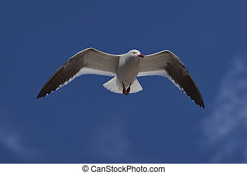Dolphin Gull (Leucophaeus scoresbii) in flight on the coast...