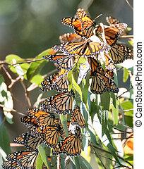 Monarch butterflies - Danaus plexippus - Monarchs cluster in...