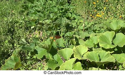 Pumpkin vegetables growing in organic food farm plantation....