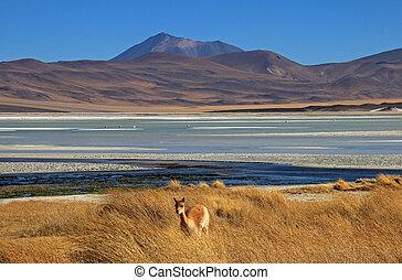 Vicuna at Salar Aguas Calientes, Atacama desert, Chile -...