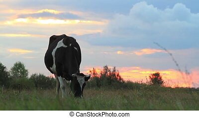 cow grazing at sunset