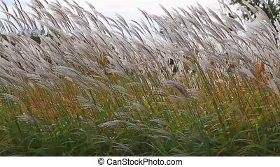 Cortaderia selloana shaken by the wind