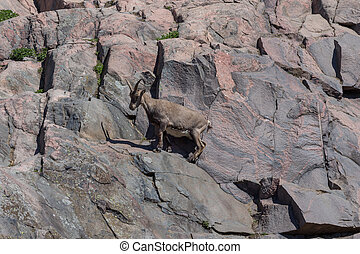 mountain goat on rocks - A mountain goat on the side of a...