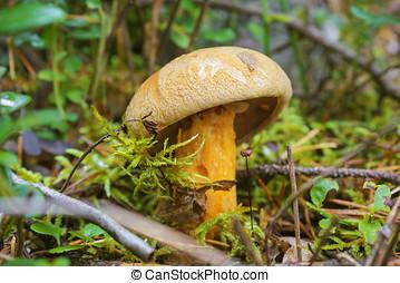 Mushroom flywheel (L.Xerocomus) in August - Edible Mushroom...