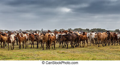 Herd of horses in the pasture goes to baptism. - A herd of...