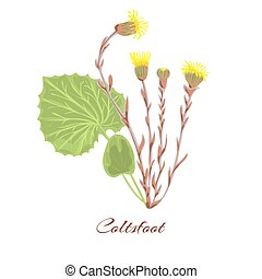Coltsfoot flower vector - Coltsfoot flower. leaves, yellow...