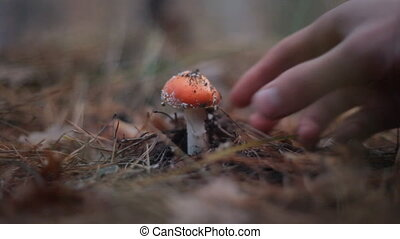 close up of hand picks a fly agaric mushroom in the forest