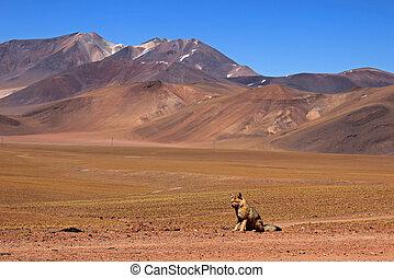 Andean fox, lycalopex culpaeus, also known as zorro culpeo....