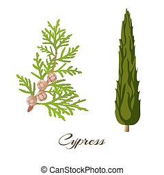 cypress - Cypress branch and tree . Cupressus sempervirens ....