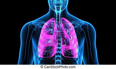 cuerpo, Órganos,  (lungs),  3D, humano