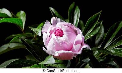Peony Flowering - Timelapse of pink peony flowering.