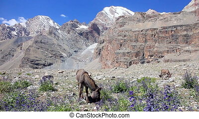 In the mountains, grazing donkeys. Pamir. Tajikistan