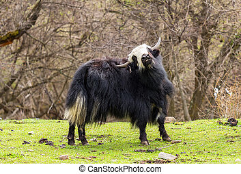 Tibetan Yak. - Tibetan Yak in the meadow.