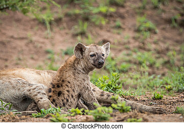 Young Spotted hyena starring. - Young Spotted hyena starring...
