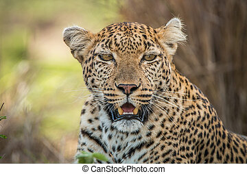 Leopard starring at the camera. - A Leopard starring at the...