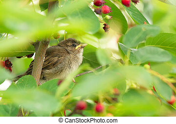 House Sparrow (Passer domesticus) - Young House Sparrow...