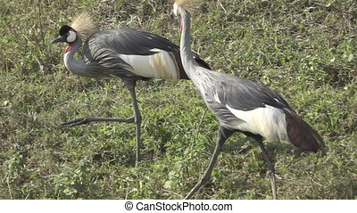 Grey crowned cranes in slow motion and flat color - Detailed...