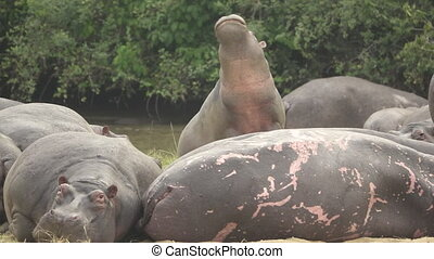 hippo moves head fast in slow motion - Front view shot in...