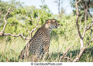 Side profile of a Cheetah on the look out.