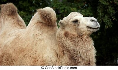 Two-humped camel in Toronto zoo
