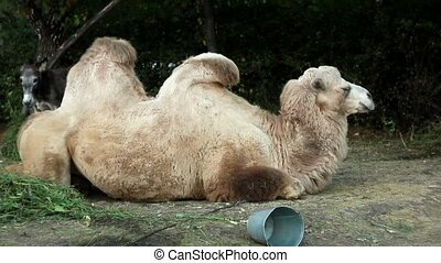 Two-humped camel in Toronto zoo - camel in the city Park on...