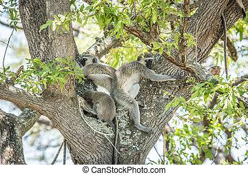 Three Vervet monkeys sleeping in a tree. - Three Vervet...