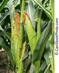 Green Corn on tree in the field.