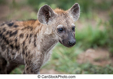 Starring young Spotted hyena. - Young Spotted hyena starring...