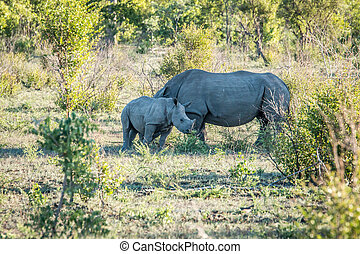 White rhino mother with calf.