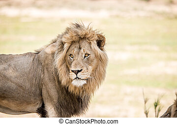 Starring huge male Lion. - Starring huge male Lion in the...
