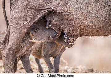 Two Warthog piglets suckling. - Two Warthog piglets suckling...