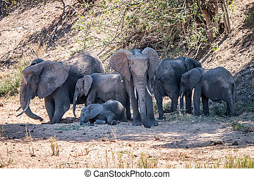 Herd of Elephants resting in the shade.