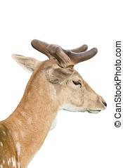 portrait of roe deer - portrait of deer in nature