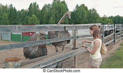 Woman feeding ostriches on an ostrich farm - Woman feeding...