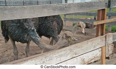Two ostriches eat from the trough on an ostrich farm - Two...